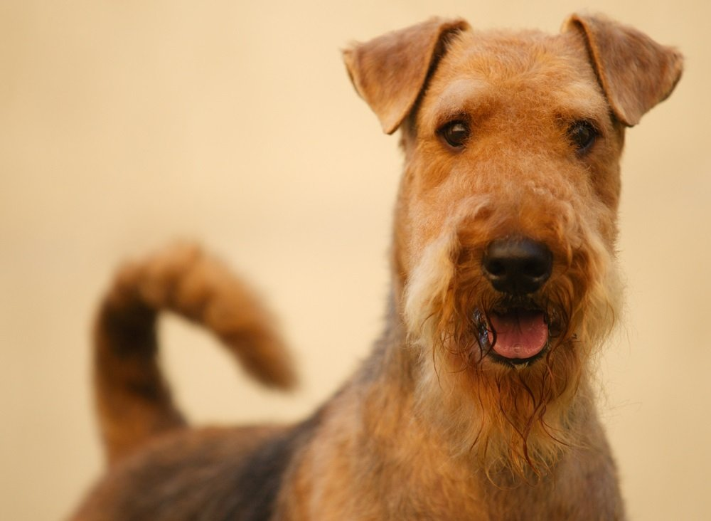Buying vs. Adopting – Airedale Terriers: An Experienced Owner Weighs In