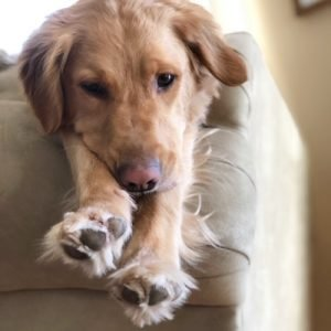Golden retriever stretched legs