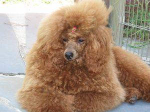 Adult Standard Poodle sitting