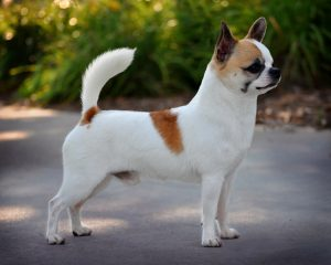 Smooth-Coat Chihuahua