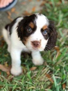 English springer spaniel puppy on grass