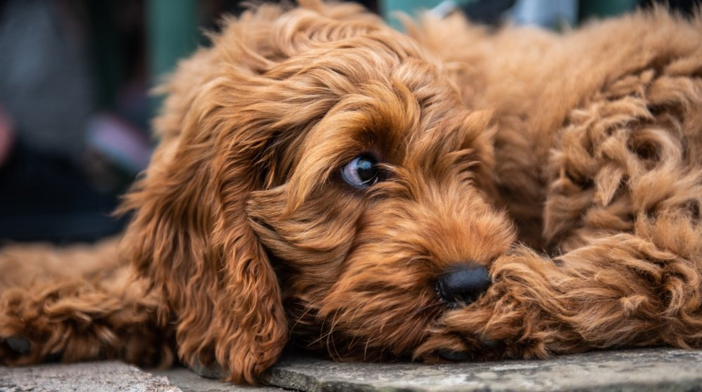 Choosing a Cockapoo – Selecting the right Cockapoo for your Family and Lifestyle