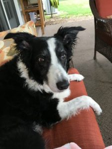 Border collie on couch