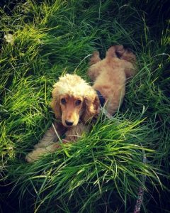 Cocker spaniel grass
