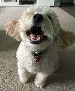 Cockapoo happy