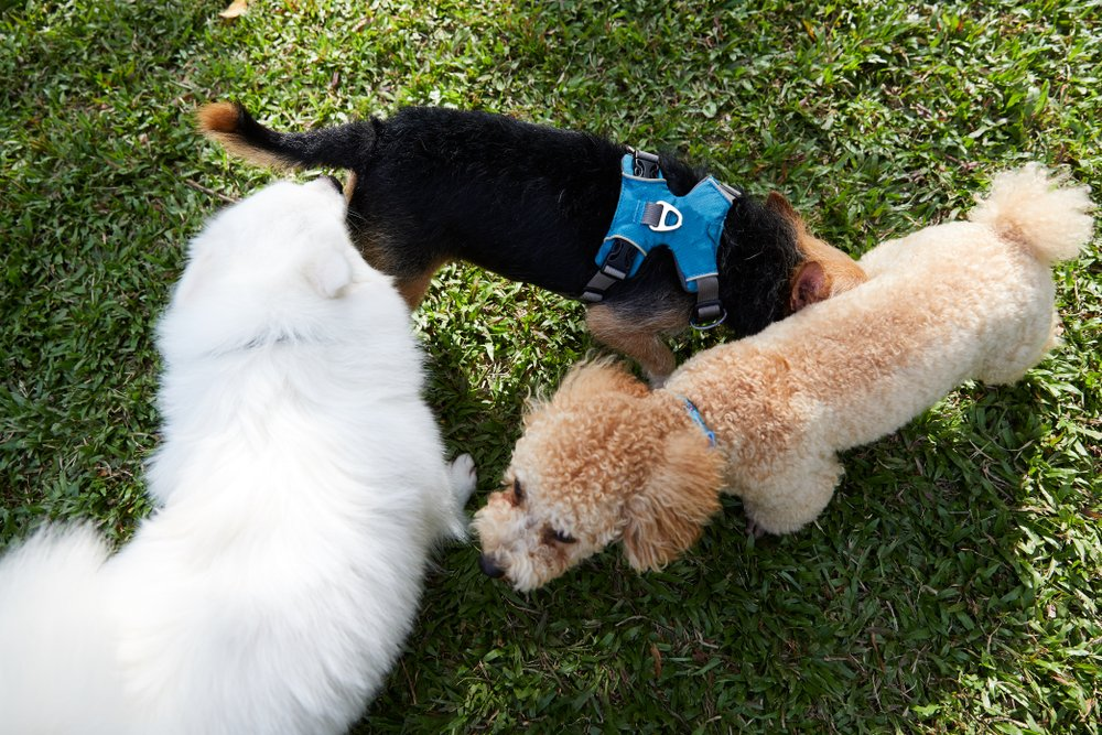 How to Correctly (and Safely) Socialize your new Poodle
