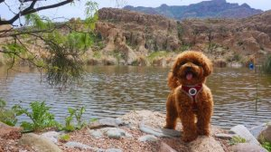 Poodle in pond