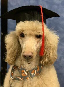 Poodle graduating