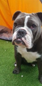 English bulldog adult