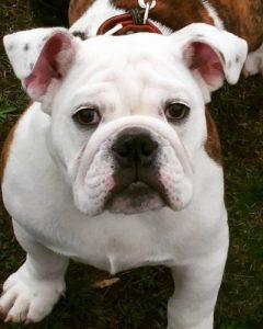 English bulldog adult