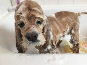 Cocker spaniel bathing