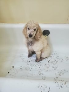 Toy poodle bathing