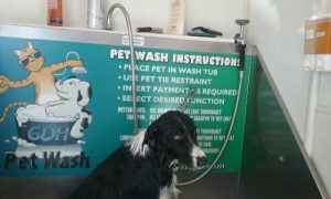 Border Collie bath time