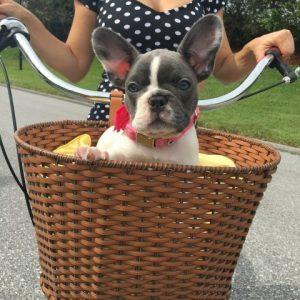 French bulldog in basket