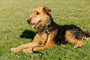 Airedale terrier sitting