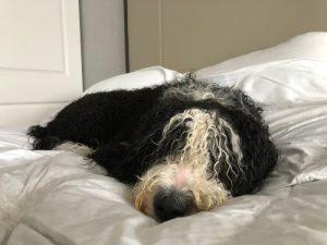 Berendoodle in bed