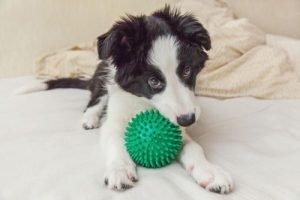 Border collie playing ball