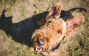 Airedale terrier looking up