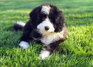 Barnedoodle on grass