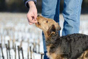 Airedale Terrier wating