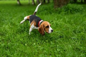 Beagle urinating