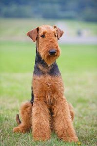 Airedale Terrier sitting outside