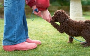 poodle attending puppy training class