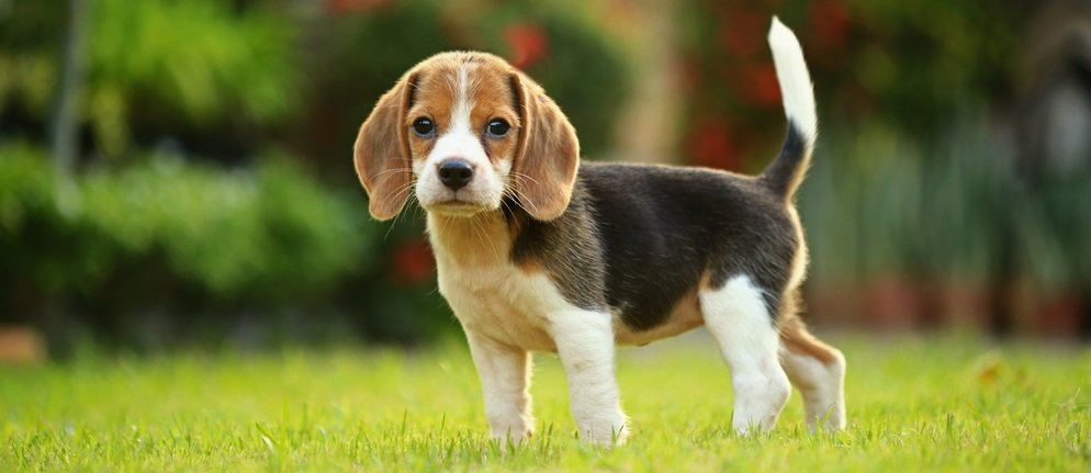 Potty Training Your Beagle – Advice from Someone who has been there