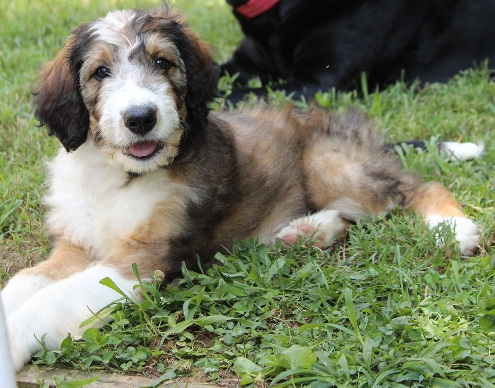 Potty Training a Bernedoodle: Tips for both Puppies and Adults