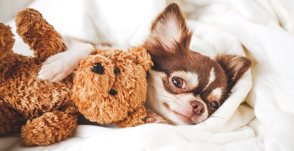 LBC (Life Before Chihuahuas) – Preparing for Your First Chihuahua