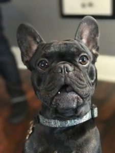 Black bindle french bulldog