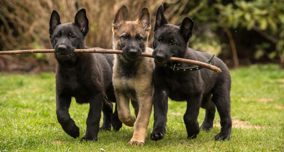 Socializing Your German Shepherd Puppy – The First 16 Weeks