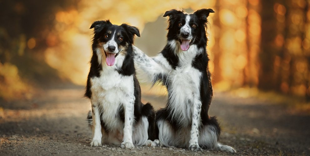 Tips for Socializing your Border Collie with People and Other Animals