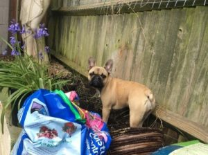 French bulldog digging