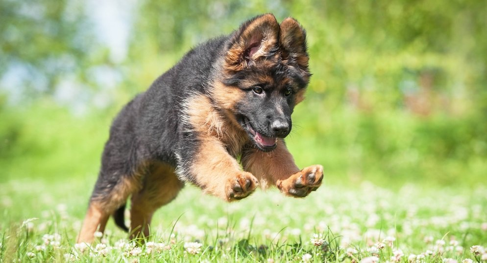 The Do's and Don'ts of Exercising a Young German Shepherd