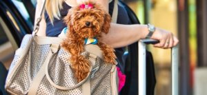 toy poodle at the airport
