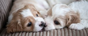 Do cavachons get along well with other pets