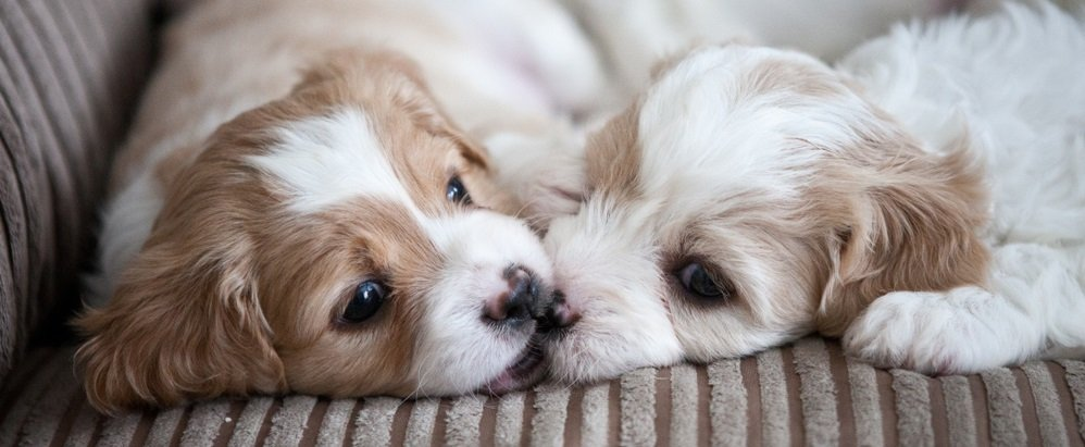 A Friendly Cavachon – Raising your Cavachon to get along with other Dogs and Pets