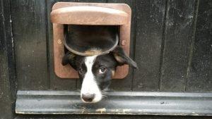Border collie dog door