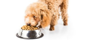 poodle eating premium dog food