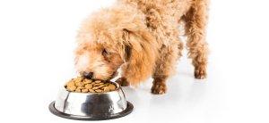 poodle eating premium dog food