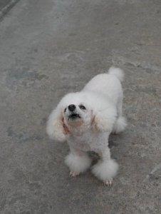 stop poodle barking