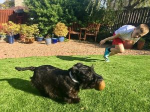Scottish terrier fetching