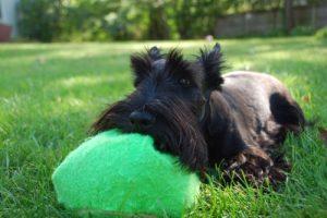 Scottish terrier grass