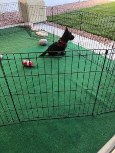 Scottish Terrier inside pen