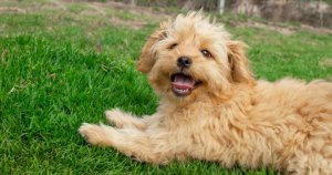 Miniature Goldendoodle laying in the grass
