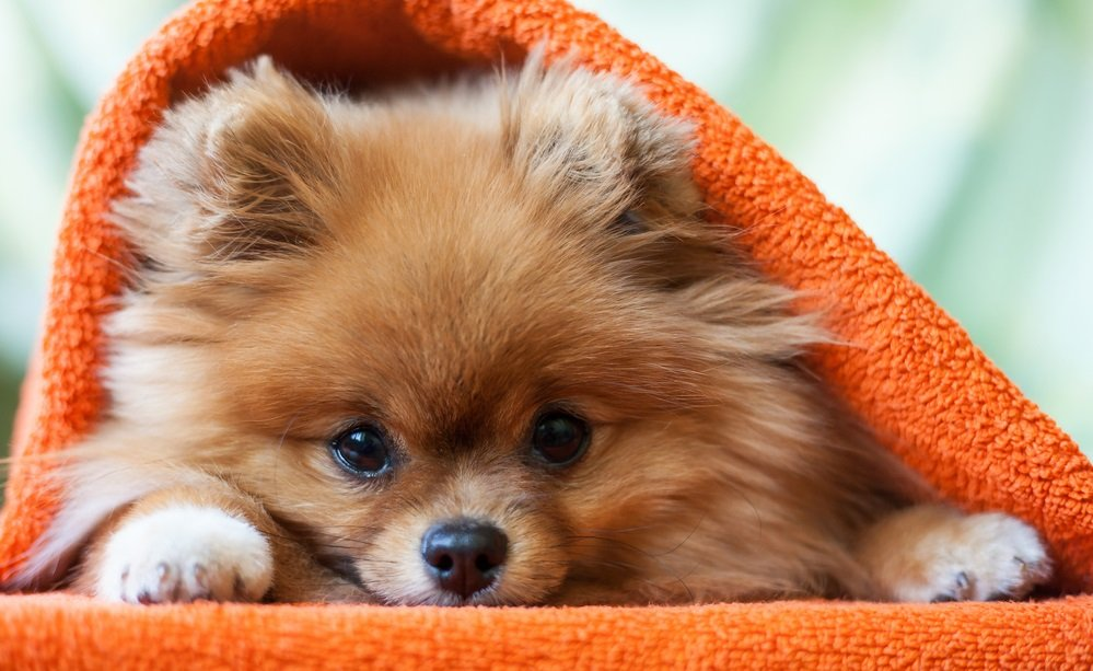 Bringing your Pom Home: The First Week with your new Pomeranian Puppy