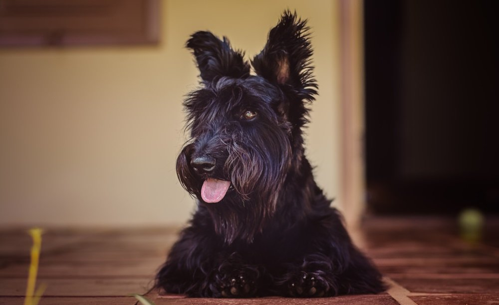 Preparing Your Home for Your new Scottish Terrier
