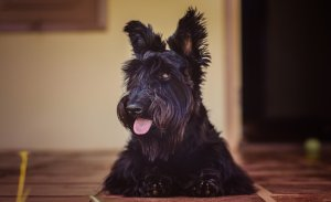 scottish terrier on the patio