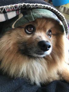 Pomeranian standard
